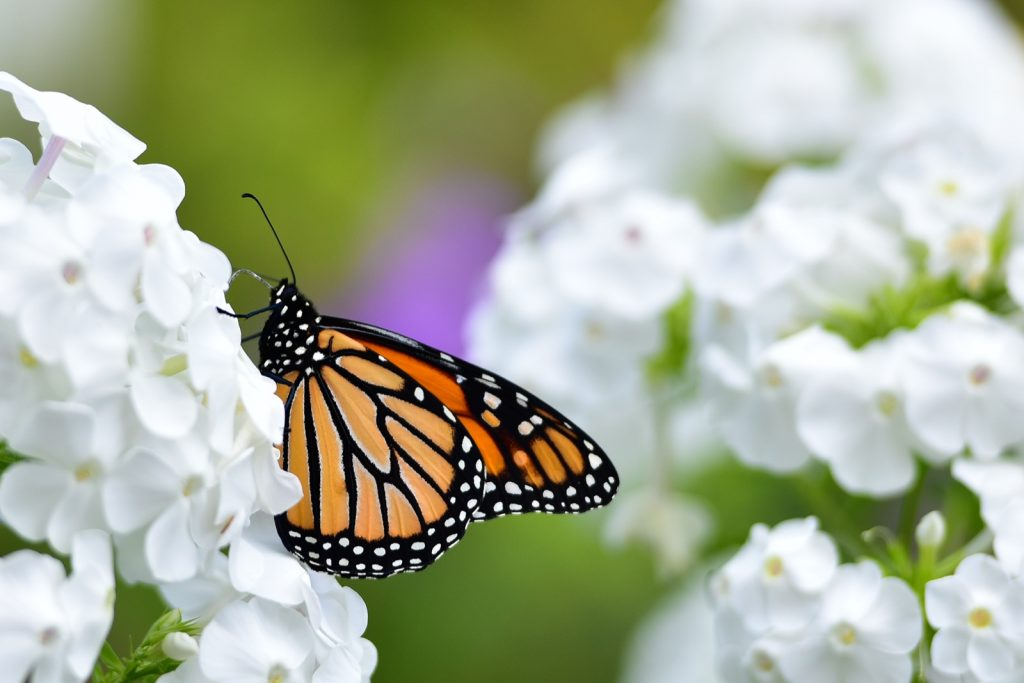 Monarch butterfly feeding on white phlox flowers