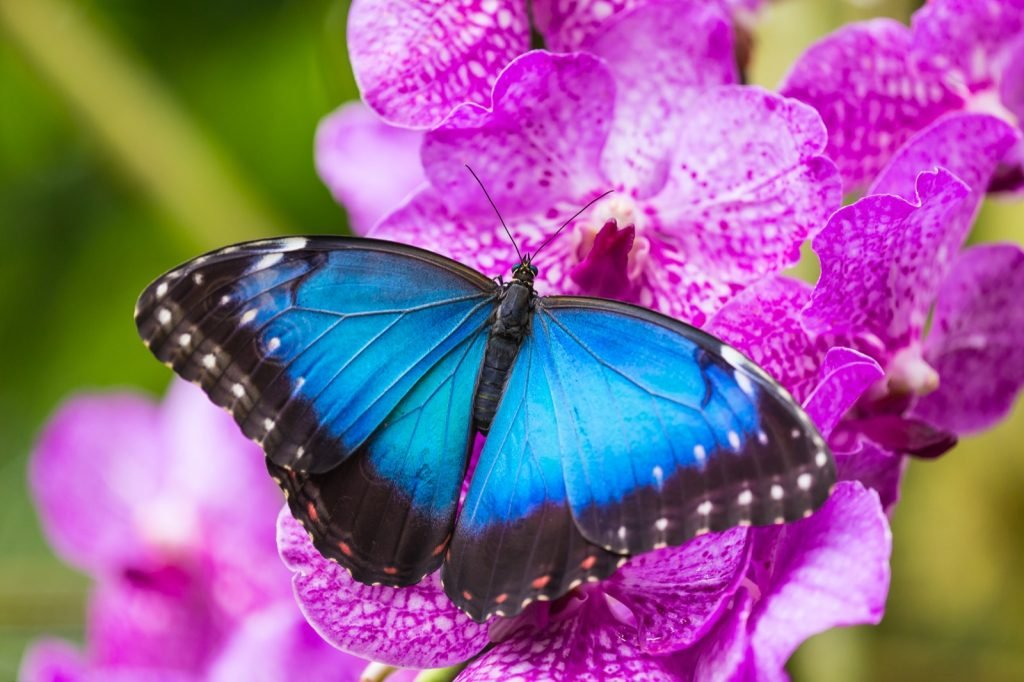 Morpho butterfly with bright blue wings sitting on a flower
