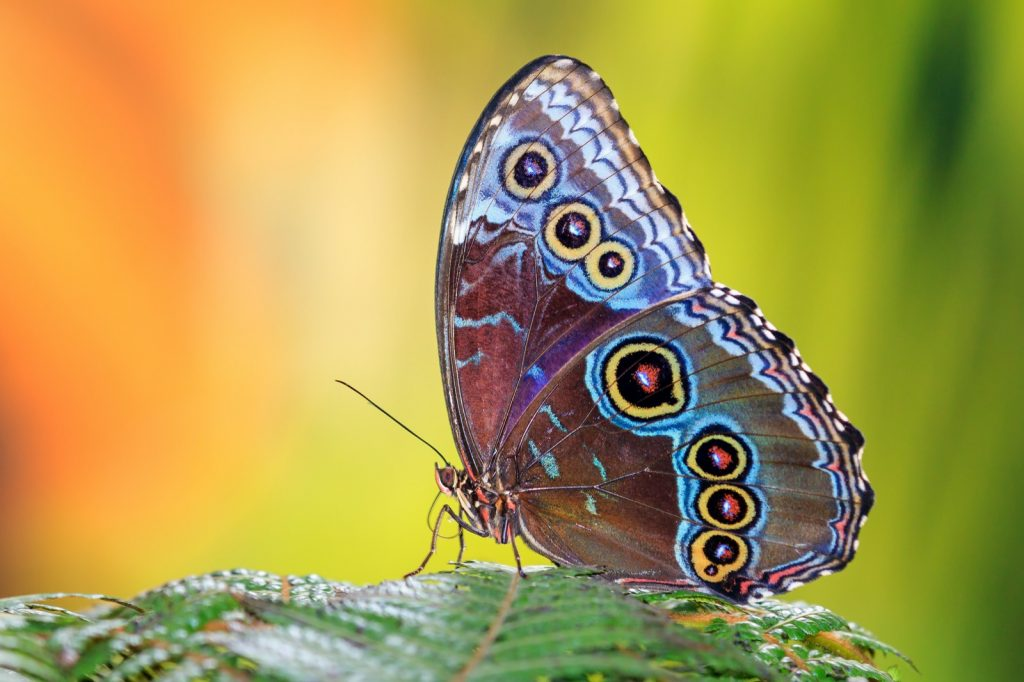 Beautiful Morpho Menelaus butterfly