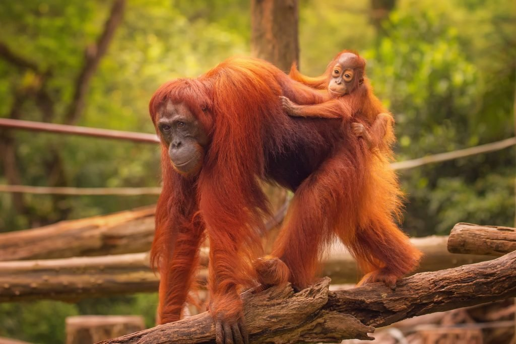 Young orangutan sitting on its mothers back