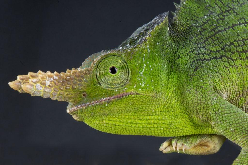 closeup of a green mountain chameleon