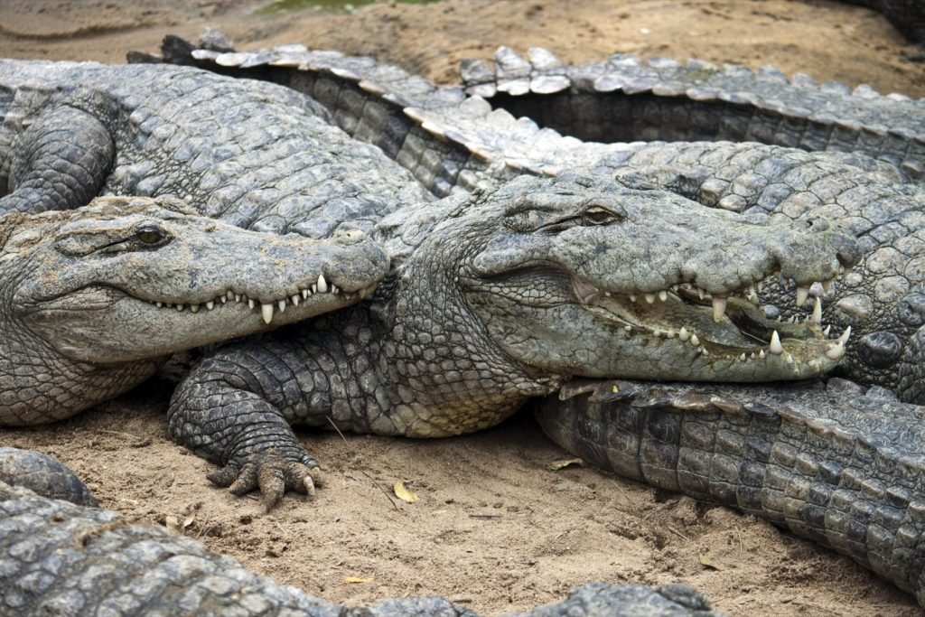 Mugger or marsh crocodiles aka Crocodylus Palustris