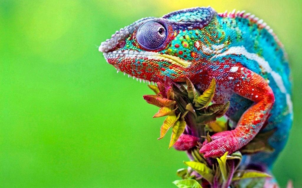 Multi colored chameleon close-up