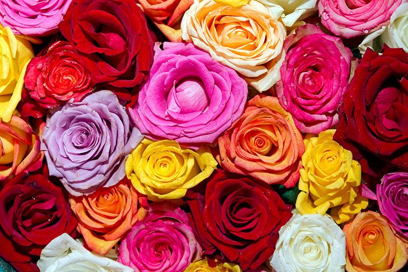 Multi-Colored Roses Close Up