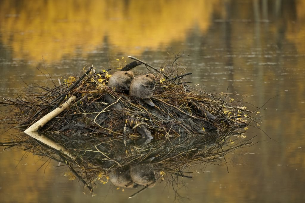 Two beavers sitting on a newly started beaver dam in the river