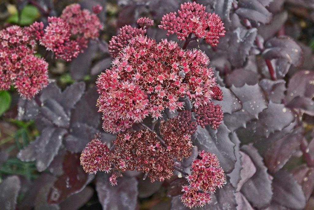 Night embers sedum with dark purplish-black leaves and pink flowers