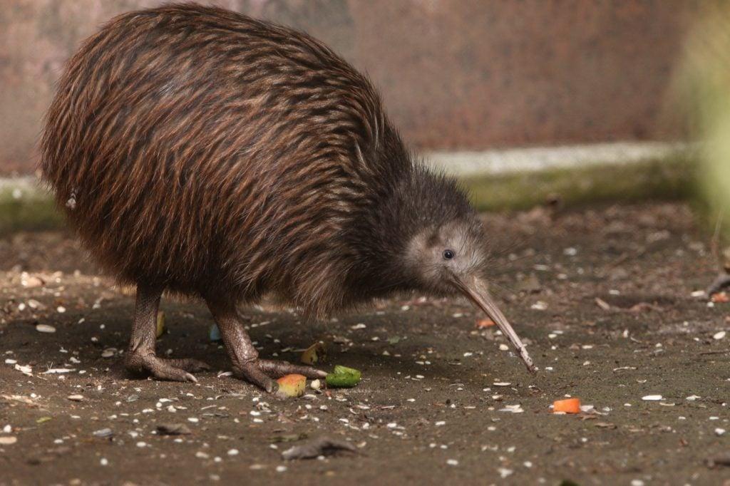 North island brown kiwi bird in New Zealand