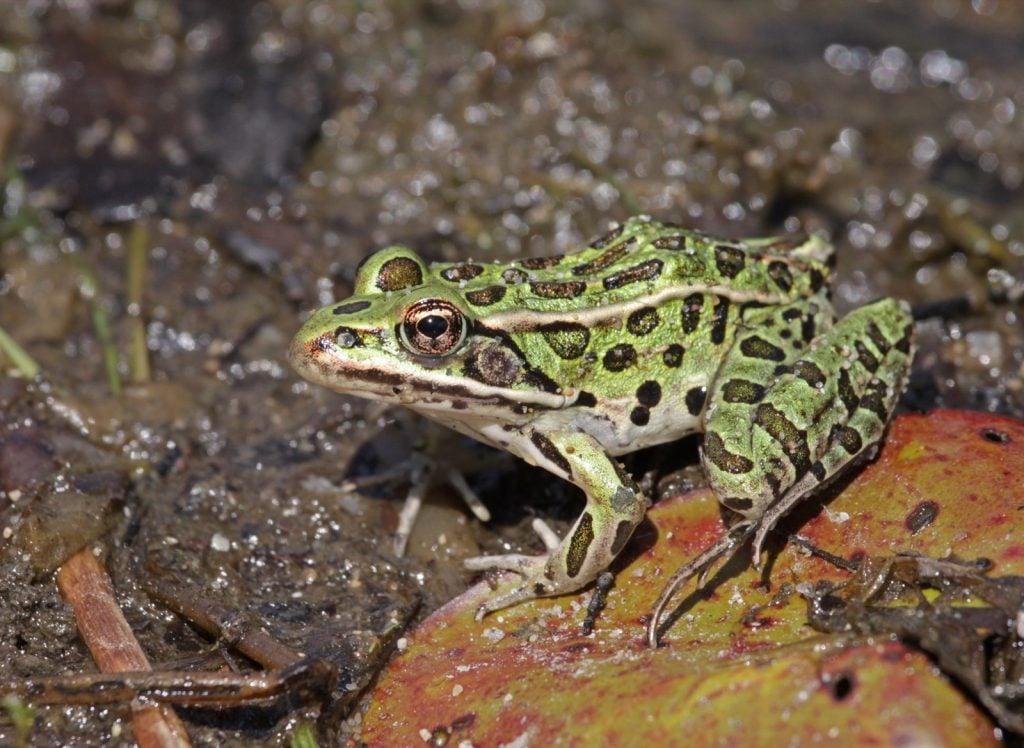 Northern leopard frog aka Lithobates Pipiens