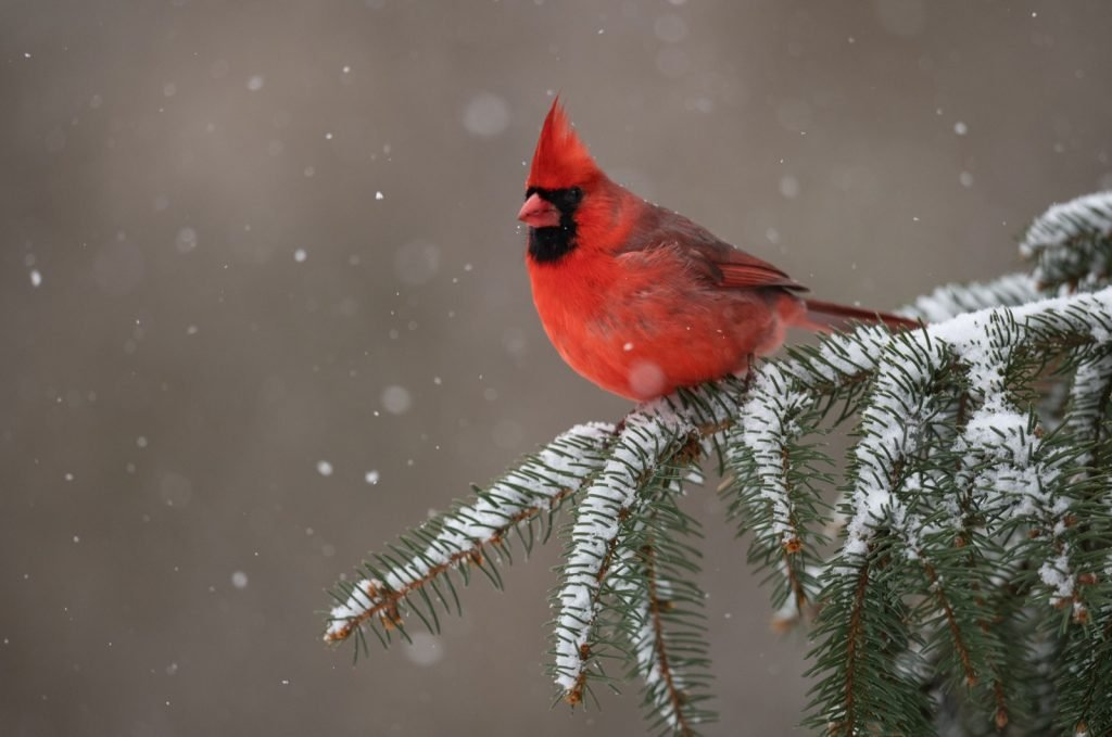 Male northern cardinal sitting in tree with snow in winter