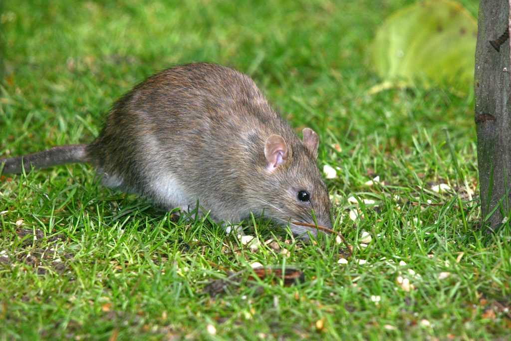Close up of a brown rat also known as Norway Rat or common rat, sitting in the grass eating leftovers from a bird feeder
