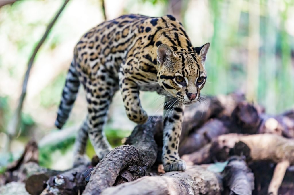 Ocelot or Leopardus Pardalis walking over wood logs