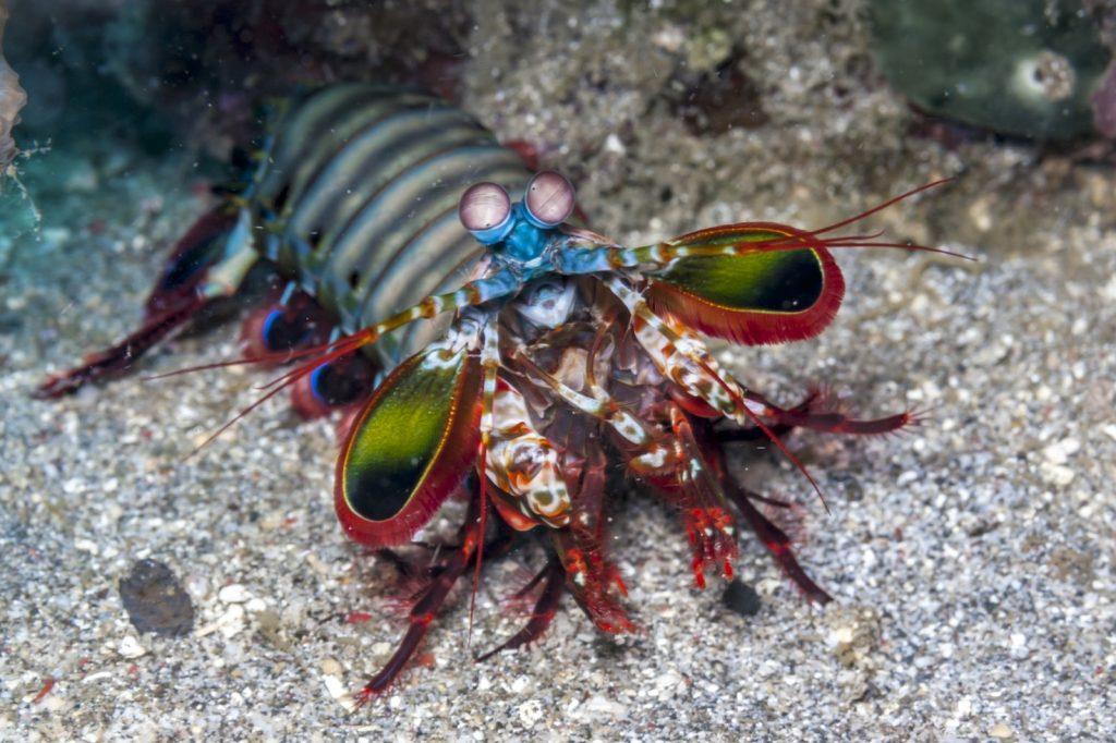 Odontodactylus scyllarus also known as the peacock mantis shrimp