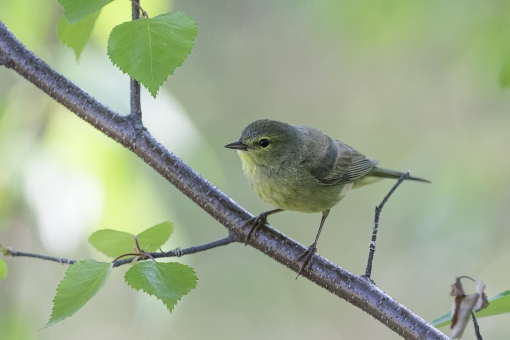 Orange-crowned warbler on a branch with green leaves