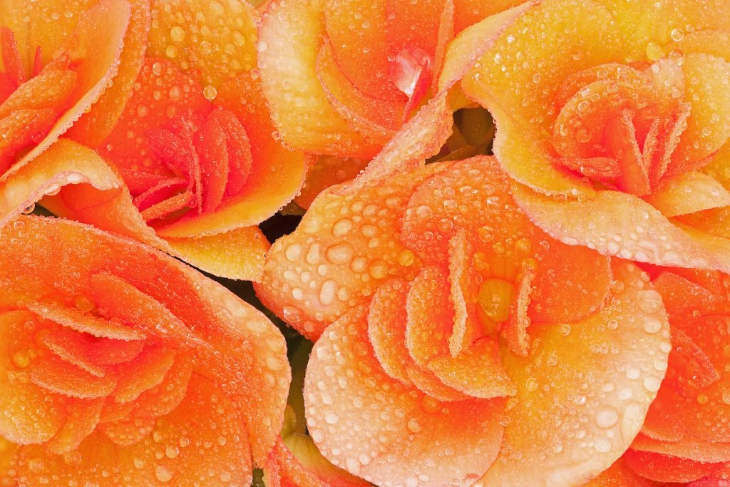 Closeup of orange begonias covered with dew drops