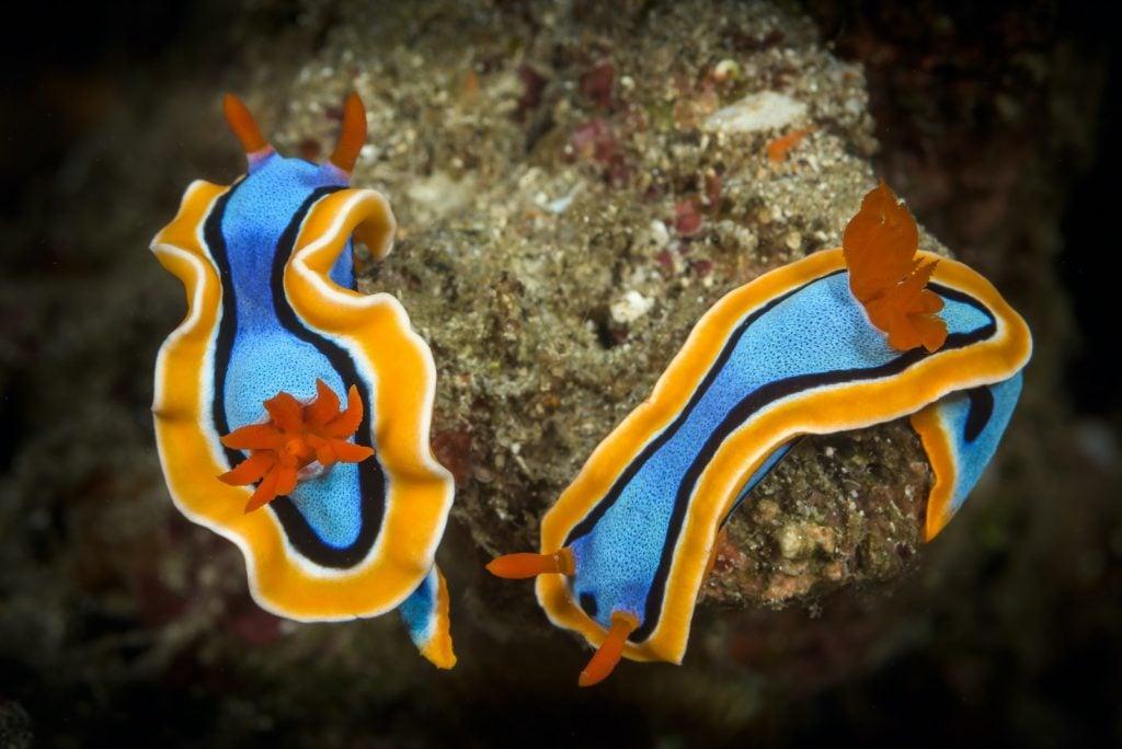 Bright orange and blue Doris Nudibranch sea slugs underwater