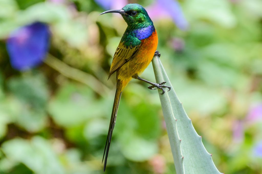 Orange-breasted sunbird aka Anthobaphes Violacea in focus