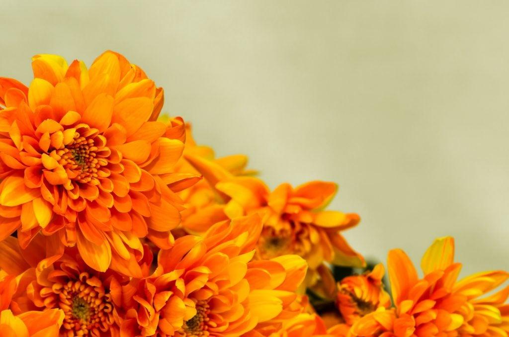 Closeup of orange chrysanthemums