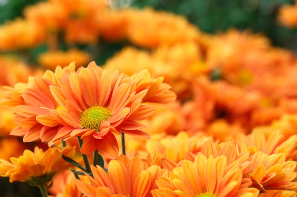 Orange flowers in focus on a blurred background