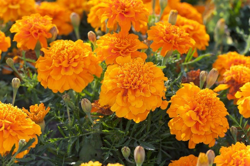 Closeup of orange marigolds in a garden