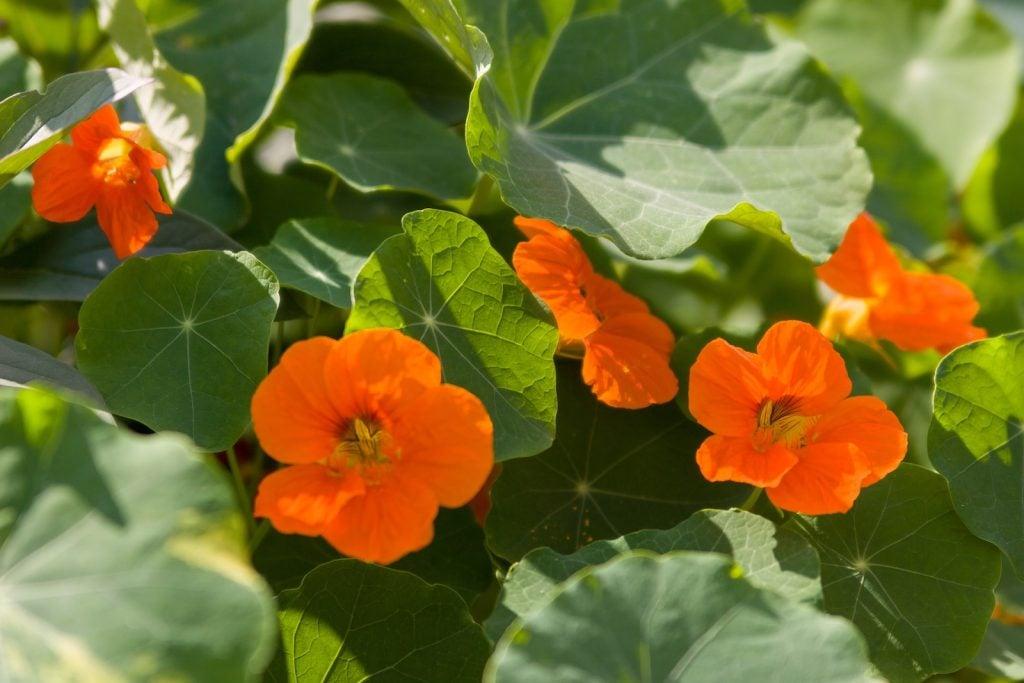 Orange nasturtium flowers in the garden