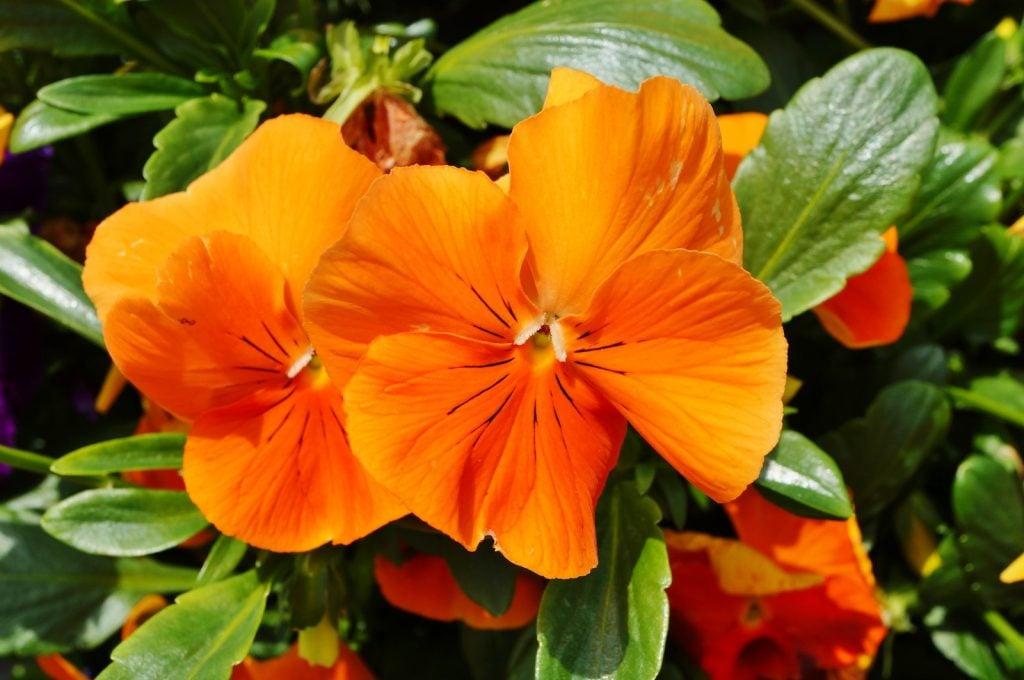 Closeup of orange pansies with green leaves