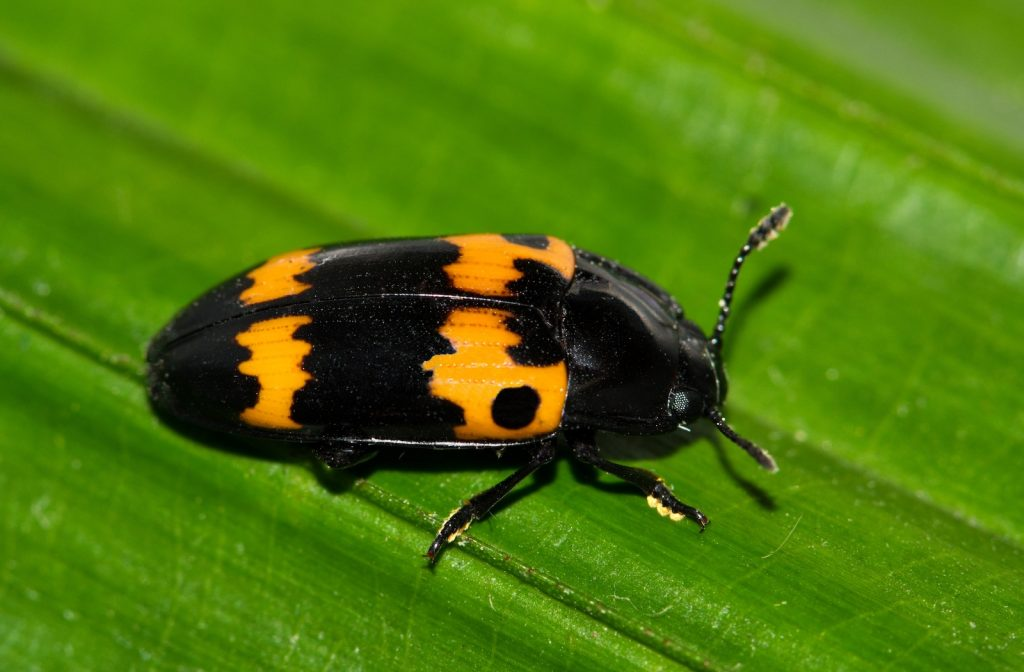 Closeup of a pleasing fungus beetle on a dark green leaf