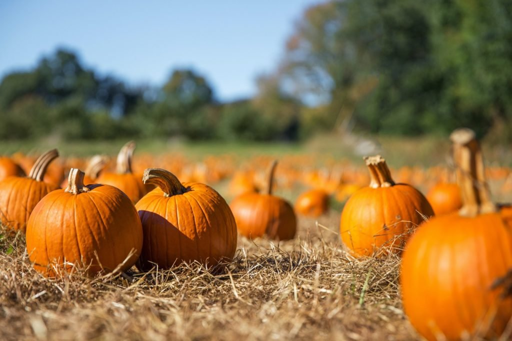 Orange pumpkins on field