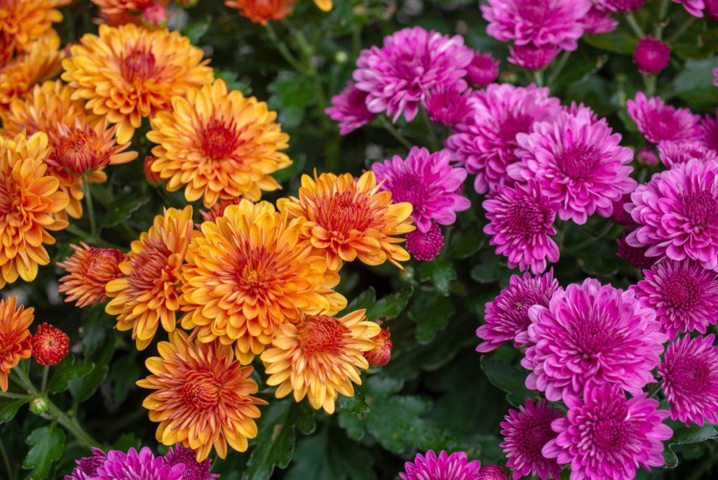 Orange and purple chrysanthemum flowers