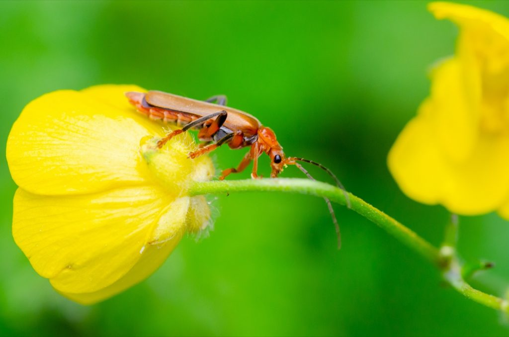 Orange red soldier beetle aka Rhagonycha Fulva on yellow flower