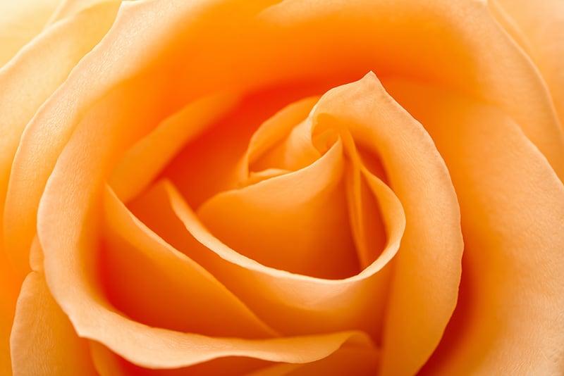 Orange Rose Close Up Macro