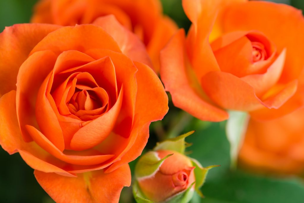 Closeup of orange rose bush