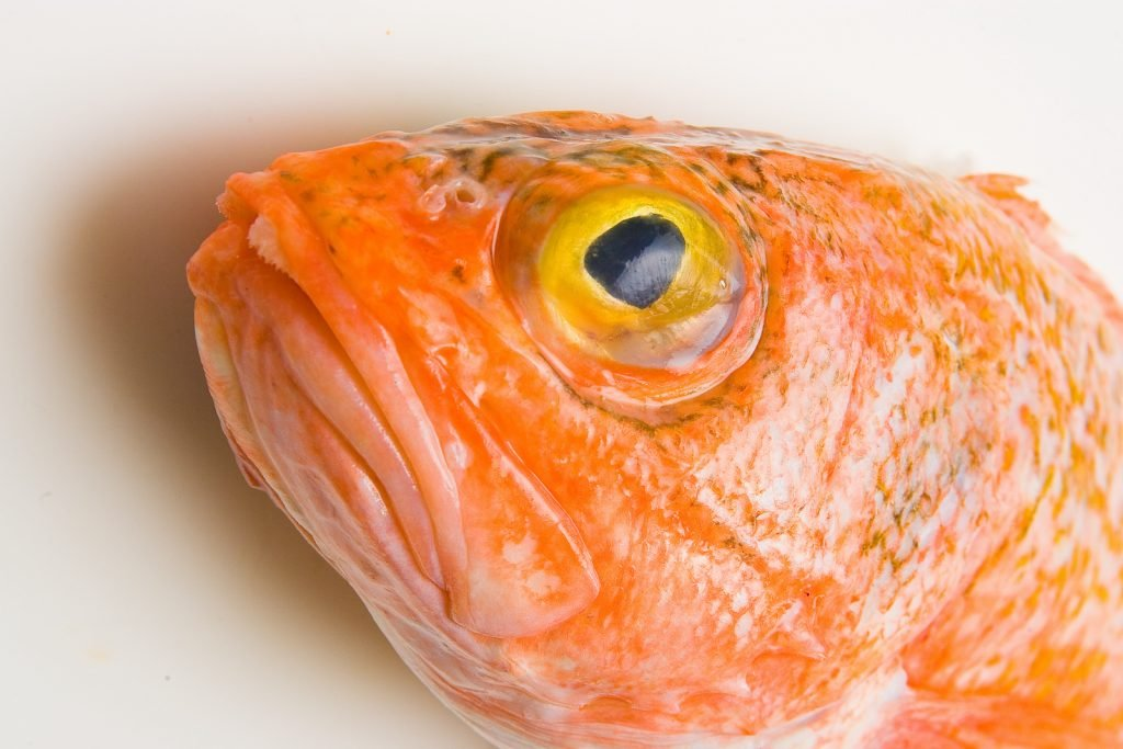 Closeup of the head of orange roughy on a white background