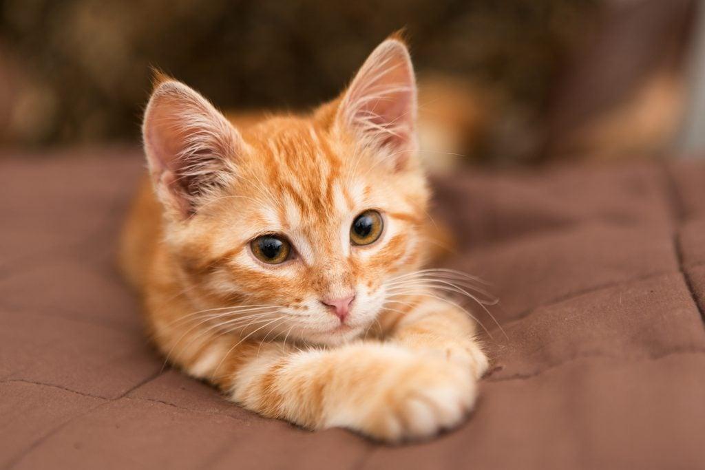 Little orange tabby kitten lying on the bed