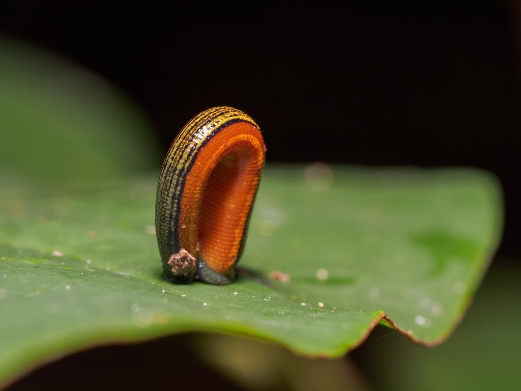 Orange tiger leech also known as Haemadipsa Picta on leaf in Bornean jungle