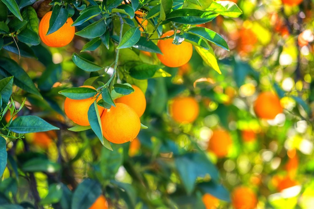 Orange trees in the sunlight with ripe fruits and fresh green leaves