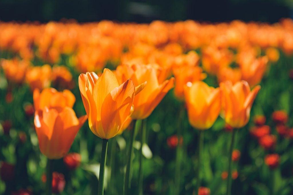 Field of orange tulips in the sunshine