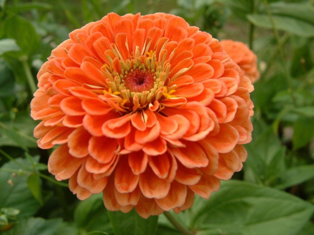 Closeup of vibrant orange zinnia flower head in a garden