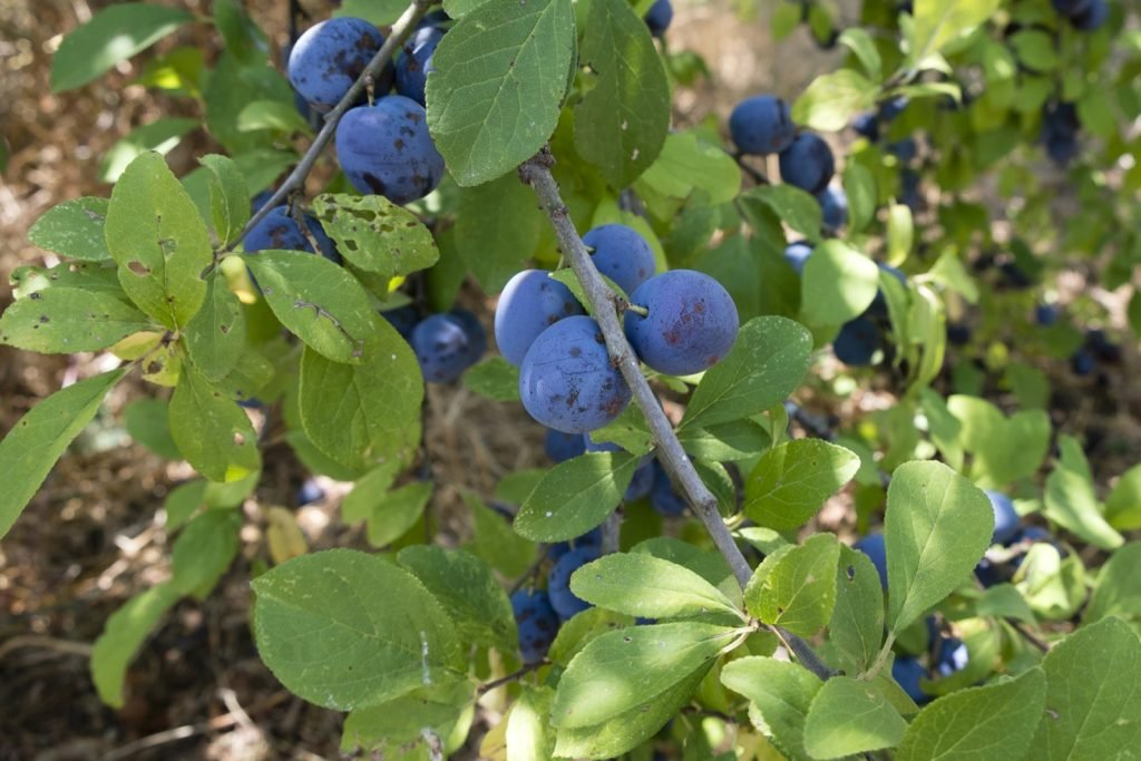 Organic Damson Plums growing on branches