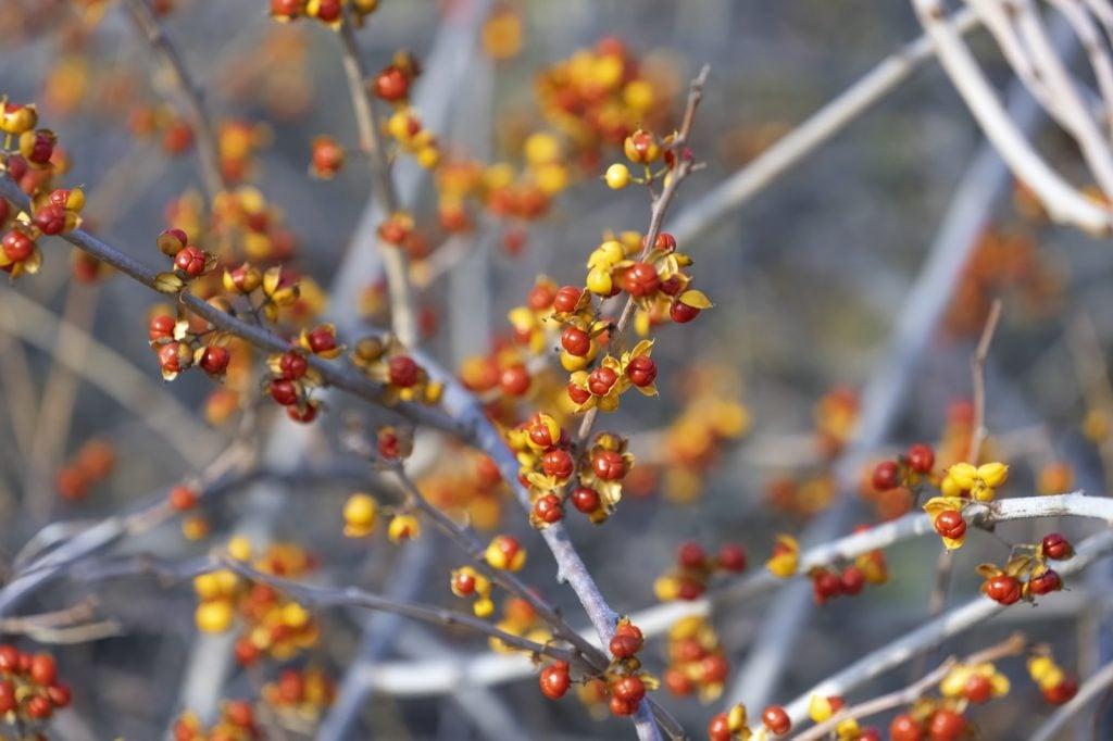 Oriental bittersweet berries on the Celastrus Orbiculatus plant in fall