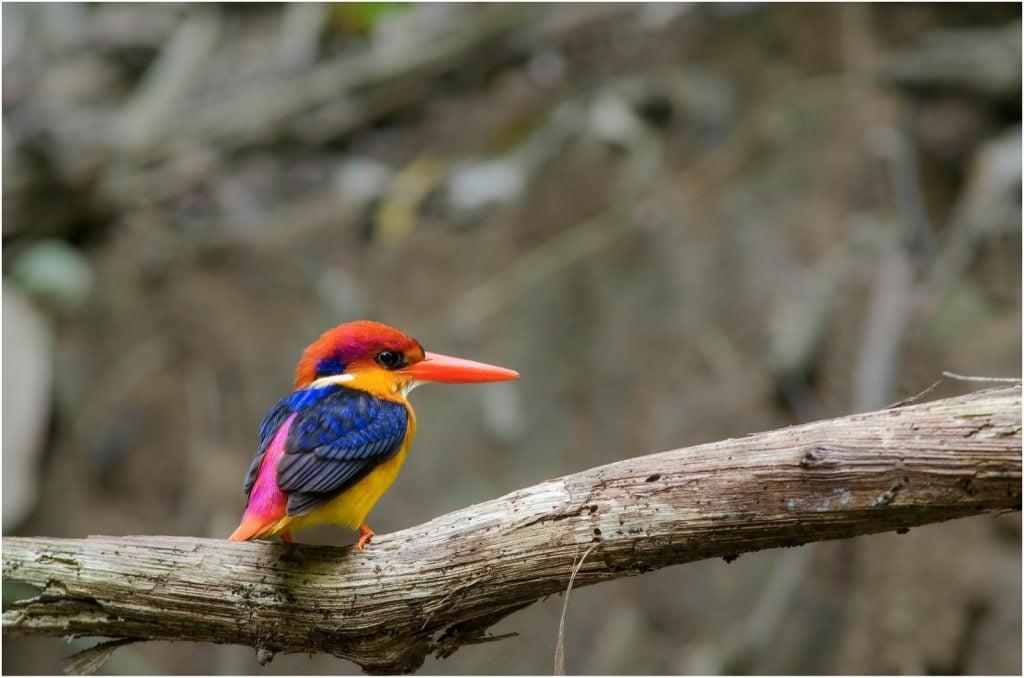 Oriental dwarf kingfisher aka Ceyx Erithaca perched on a branch