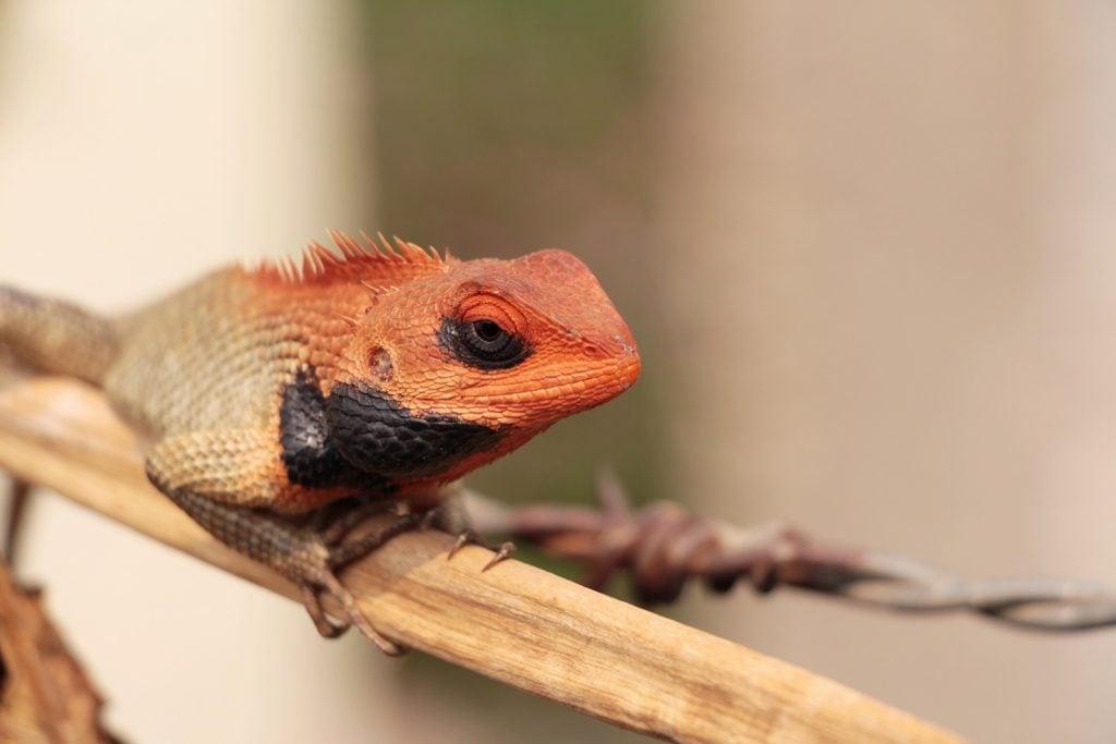 Male oriental garden lizard sitting on a dry branch