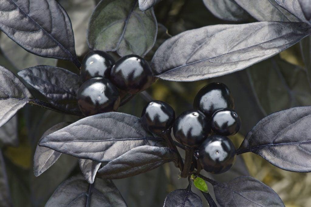 Ornamental black pearl pepper closeup