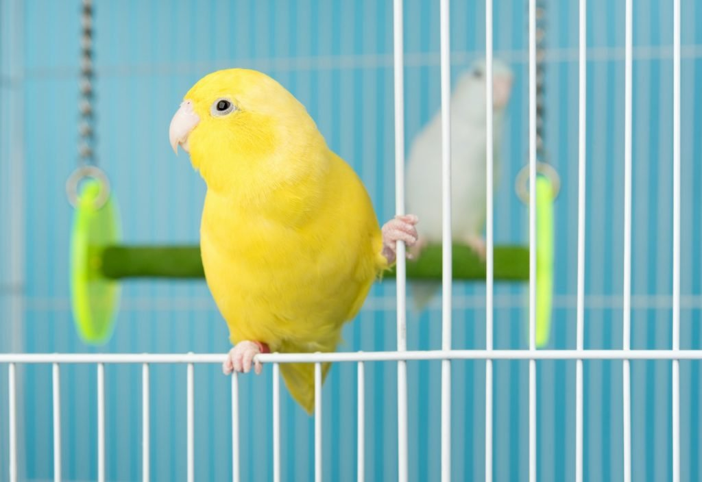 Pacific Parrotlet in its yellow lutino variety in a cage