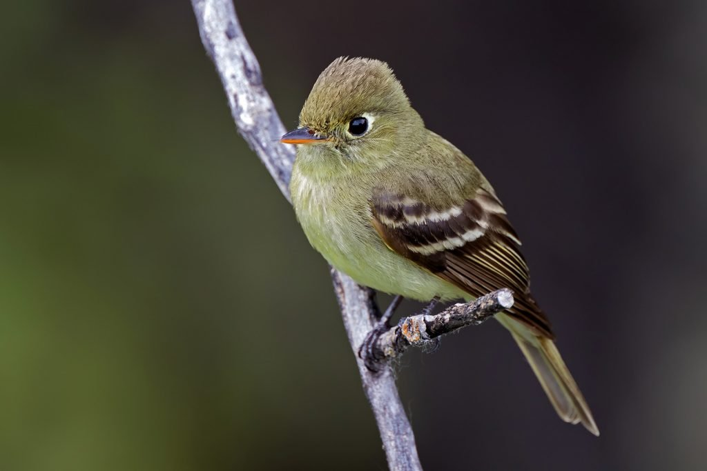 Pacific-slope flycatcher on a branch