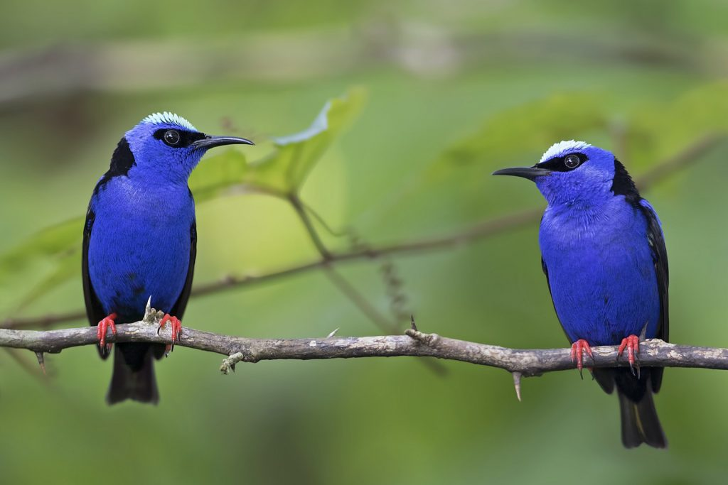 Pair of red-legged blue colored Honeycreepers in Costa Rica