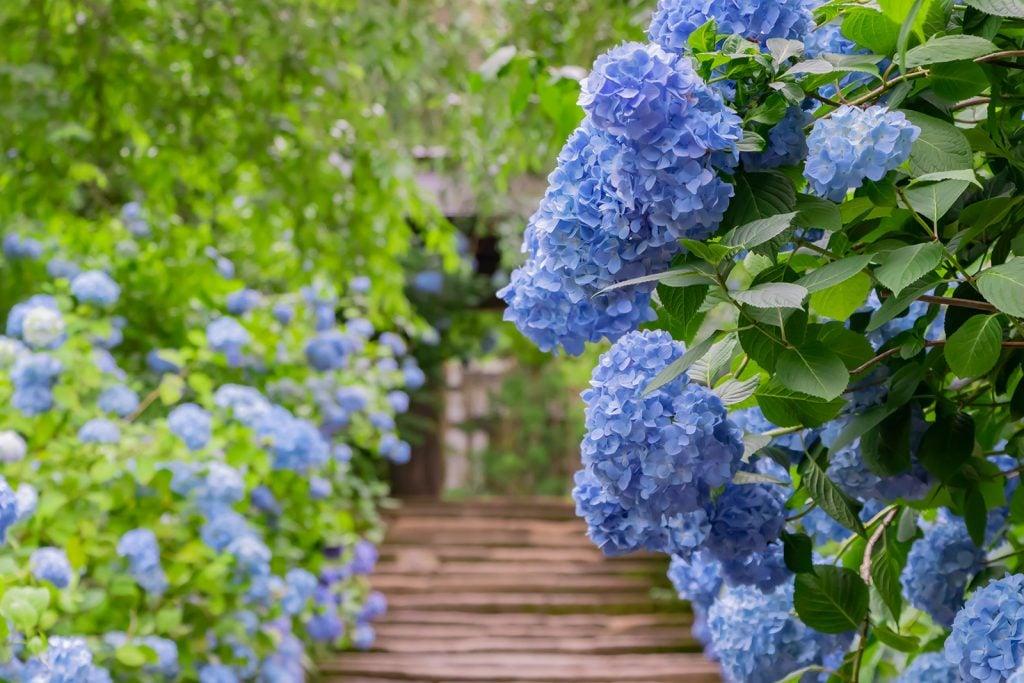 Hydrangeas plants with pale blue flowers in a park