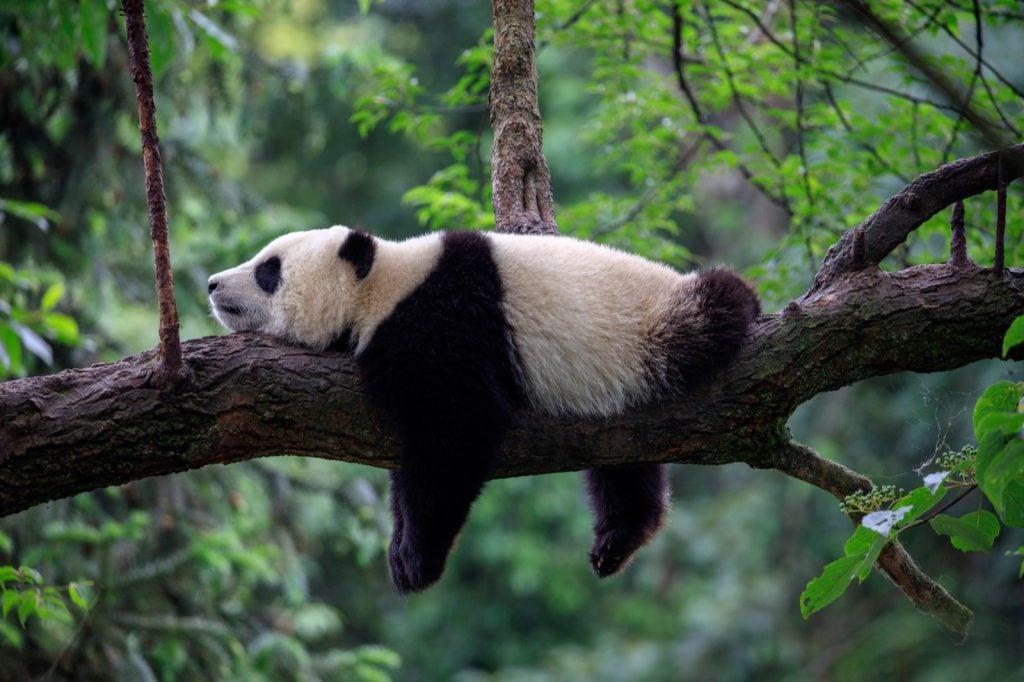 Panda bear relaxing on a tree branch