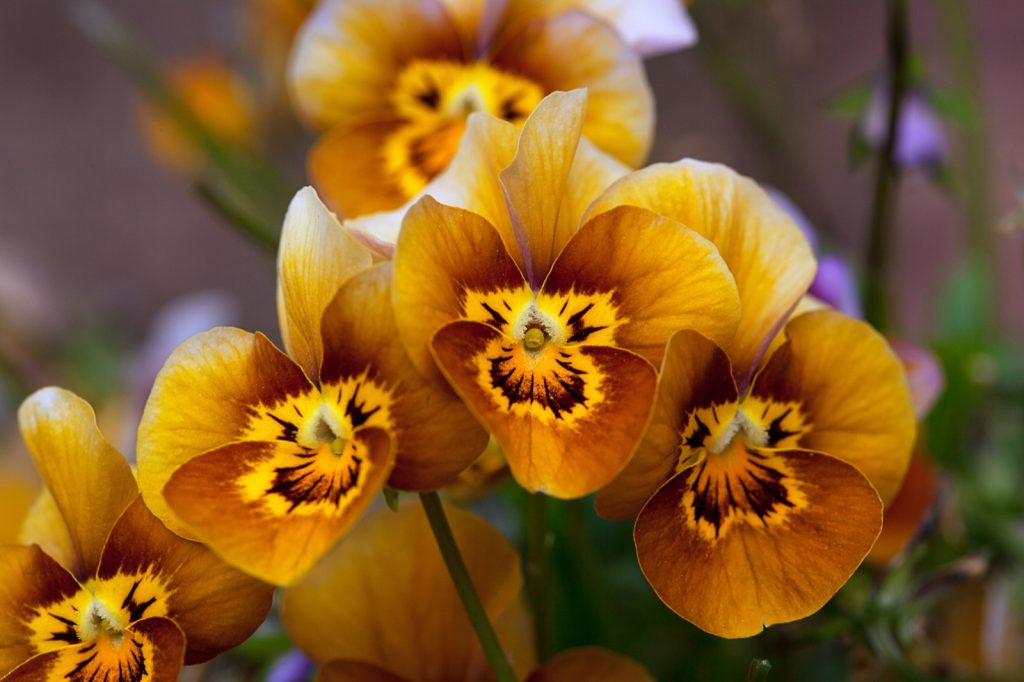 Pansy viola velour frosted chocolate with caramel-brown flowers