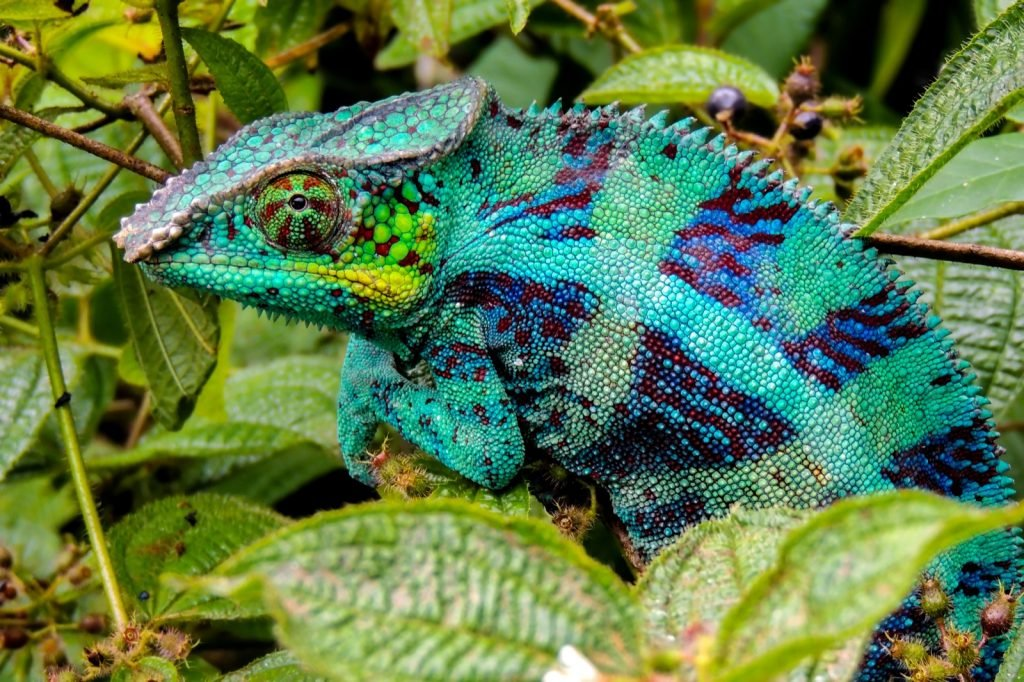 Panther chameleon or Furcifer Pardalis in the wild nature of Madagascar