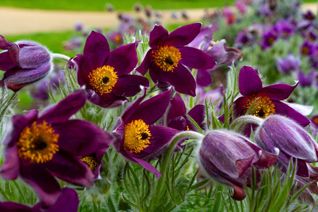 Closeup of pasque flowers in a field